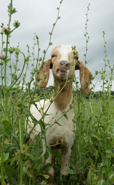 Goats In Trees Calendar 2012 Goats graze at ...