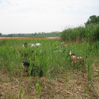 Conservation grazing with goats
