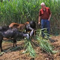 Goats love the invasive phragmites at Freshkills Park