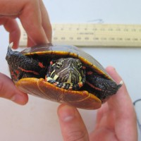 Small painted turtle found at Freshkills