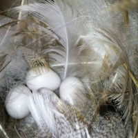 Swallow eggs found in the nesting boxes