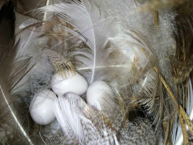 swallow-eggs