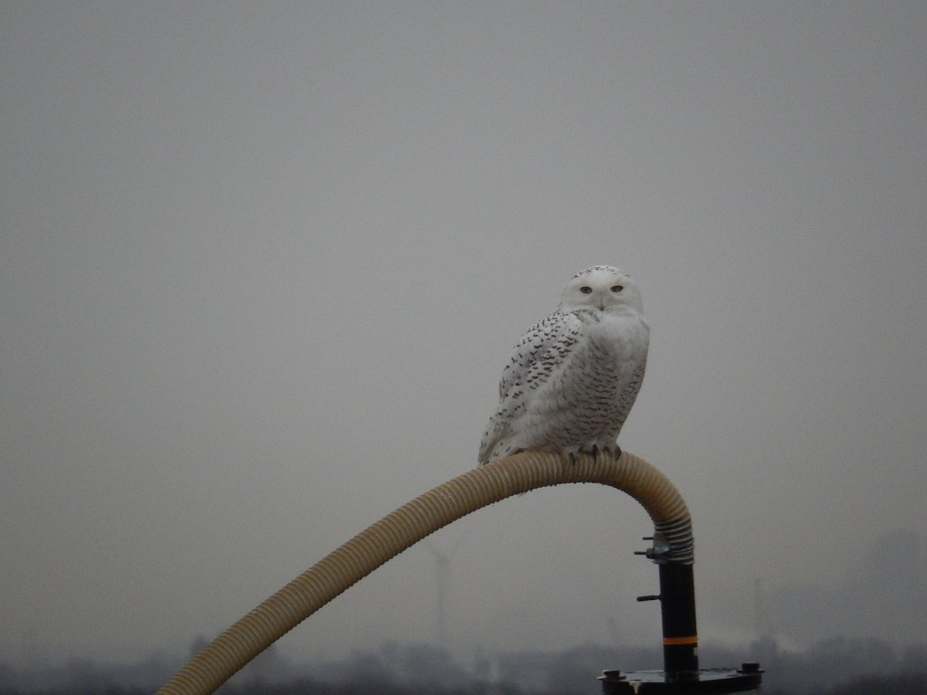 Snowy owl sighted on the north mound of Freshkills Park (the location of our annual Sneak Peak). Photo by NYC Director of Landfill Engineering Ted Nabavi