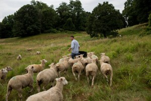 Chris O'Blenness, shepherd at the Stone Barns Center in Westchester County with his herd.  Andrew Renneisen/The New York Times