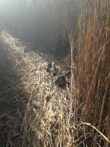 Phragmites Maze trail