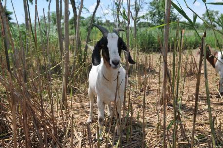 goat at Freshkills Park