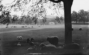 Sheep in Sheeps Meadow, Central Park