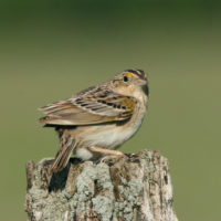 Grasshopper Sparrow (Photo: Dominic Sherony)