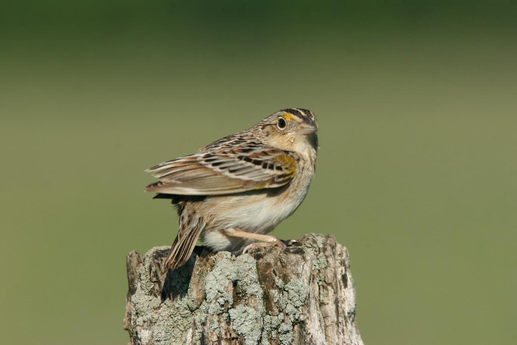 Grasshopper Sparrow (Photo: Dominic Sherony)