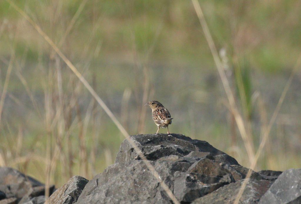 Grasshopper Sparrow. (Photo: Jose Ramirez-Garofalo)