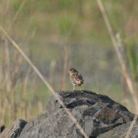 Grassland Bird