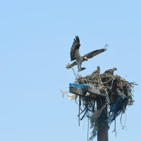 An osprey family observes the event. (Photo: Malcolm Pinckney, NYC Parks)