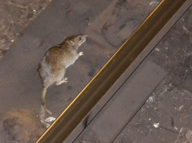 Rat_in_NYC_subway_3