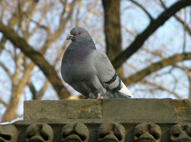 Rock_Pigeon_Columba_livia_3264px