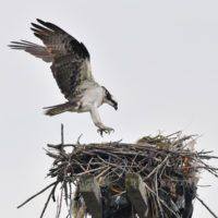 Mapping Raptor Nests in Freshkills Park