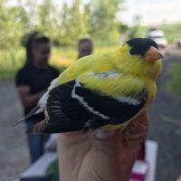 American goldfinch. (Photo: José Ramírez-Garofalo)