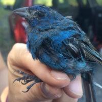 Indigo bunting, hatching year, held by Lisa Manne.